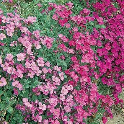 Unwins Aubrieta Spring Cascade - Approx 300 Seeds
