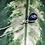 Thumbnail: Saffier