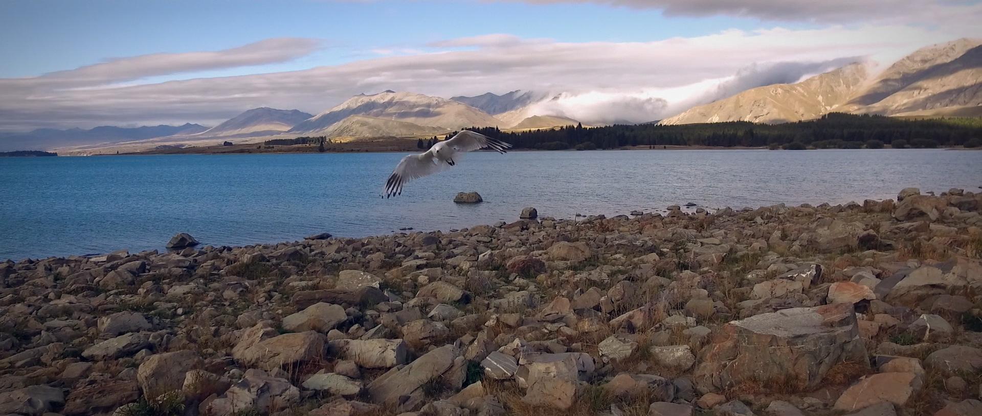 Bird on the Lake Tekapo