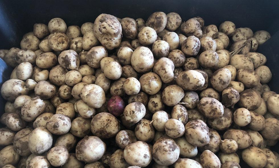 White Potato (c.v. Superior)