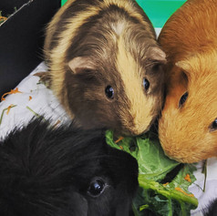 The 3 Guineateers