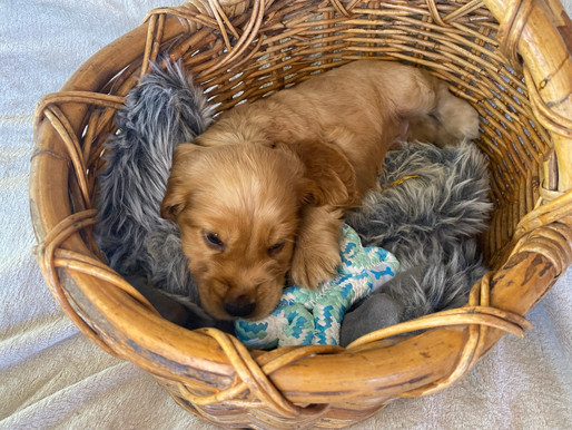 Cockerspaniel puppies for sale