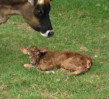 Apple, our Jersey Cow, with calf