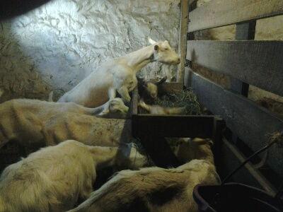 Goat Care/ Herd Management