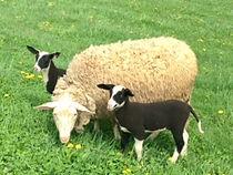 East Fresian Milking Sheep