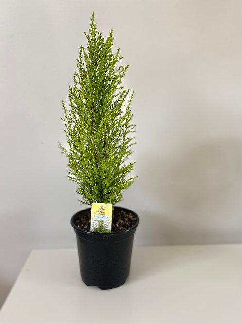 """4"""" Lemon Cypress"""