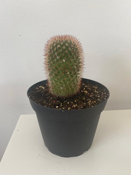 """6"""" Cactus 2"""