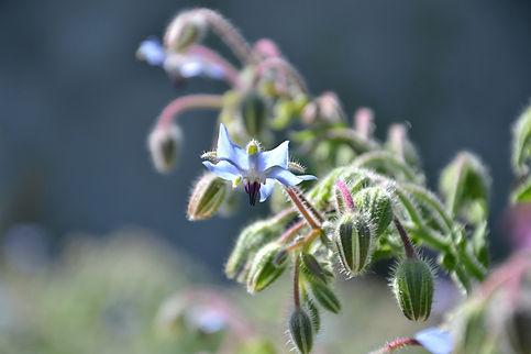 borago-officinalis-1651210_1920.jpg