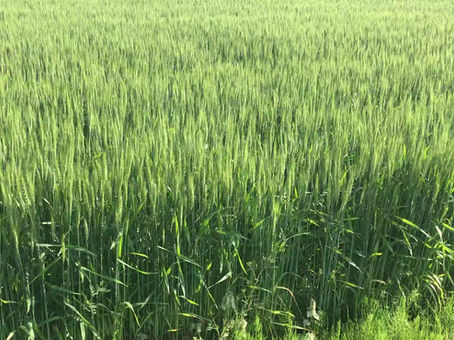塩田平の麦畑