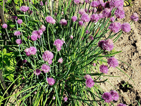 Use Beautiful & Aromatic, Chive Blossoms to Make Infused Vinegar!
