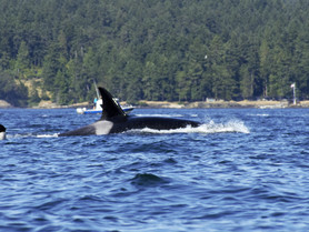 Four-Day Kayaking Expedition in the San Juan Islands - Day 1