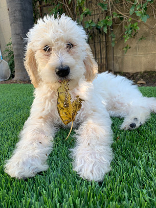 labradoodle toy
