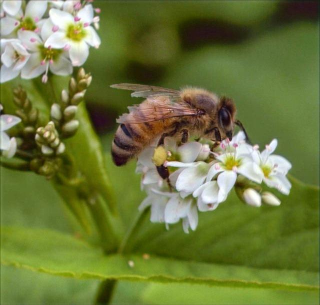 bee-on-buckwheat-flowers_edited