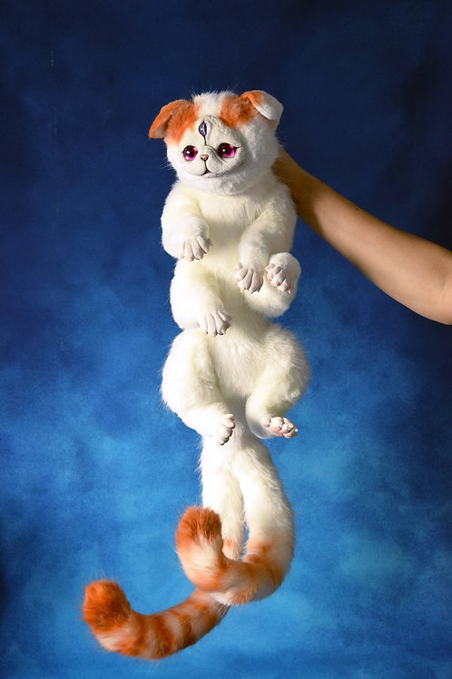 One and a half Exotic Shorthair cats