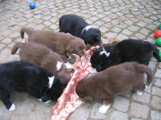 Puppies eating raw rib bones.jpg