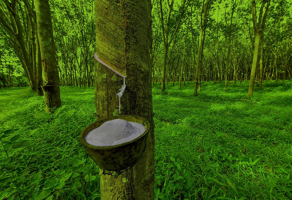 Latex-rubber-tree_.jpg