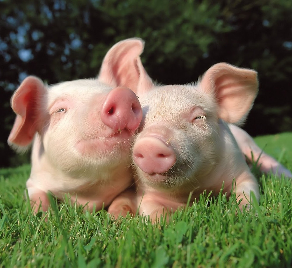 Vegan Pigglet Yoga Ahimsa
