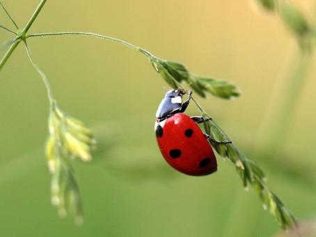 Bête à bon dieu ou simple insecte ?
