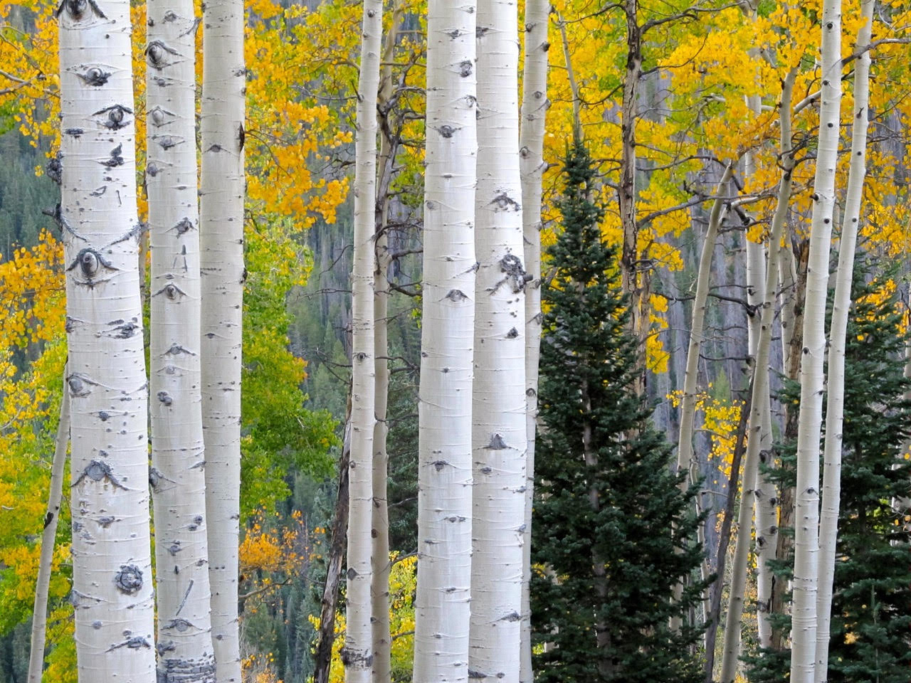 Aspens changing colors.