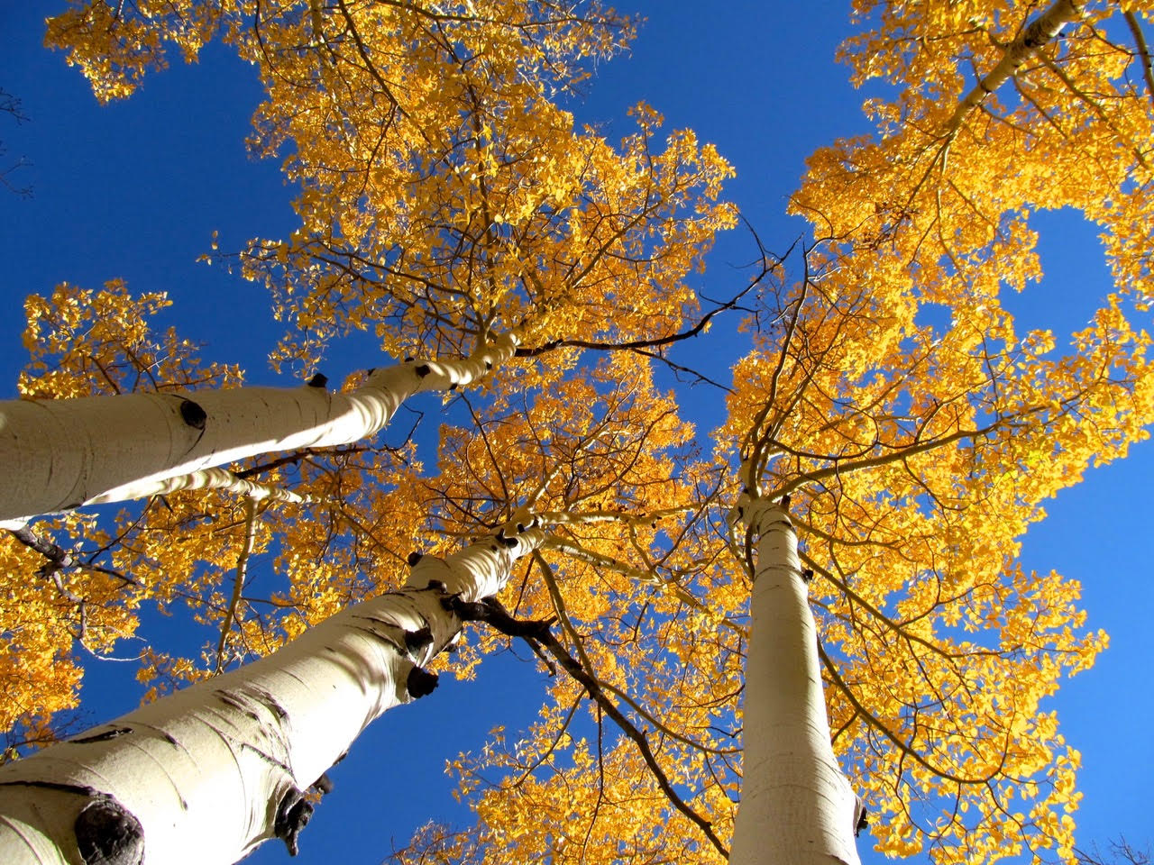 Aspen trees in the fall.
