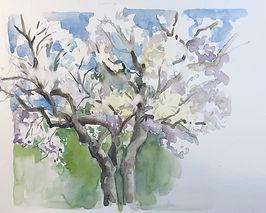 Mallorca Almond Tree.jpg