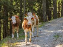 Kälber in Südtirol