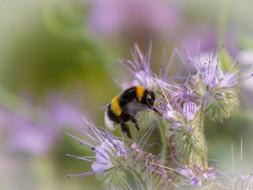 Hummel auf Bienenfreund