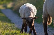 Junges Schaf
