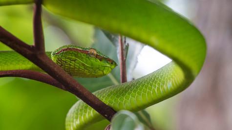 Bornean Keeled Pit Viper   Borneo