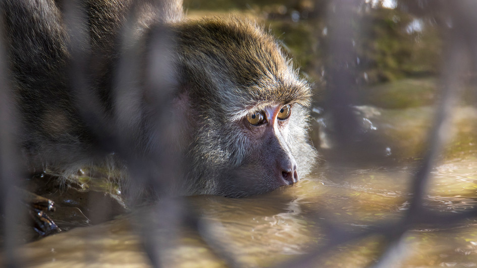 Long tailed Macaque | Borneo