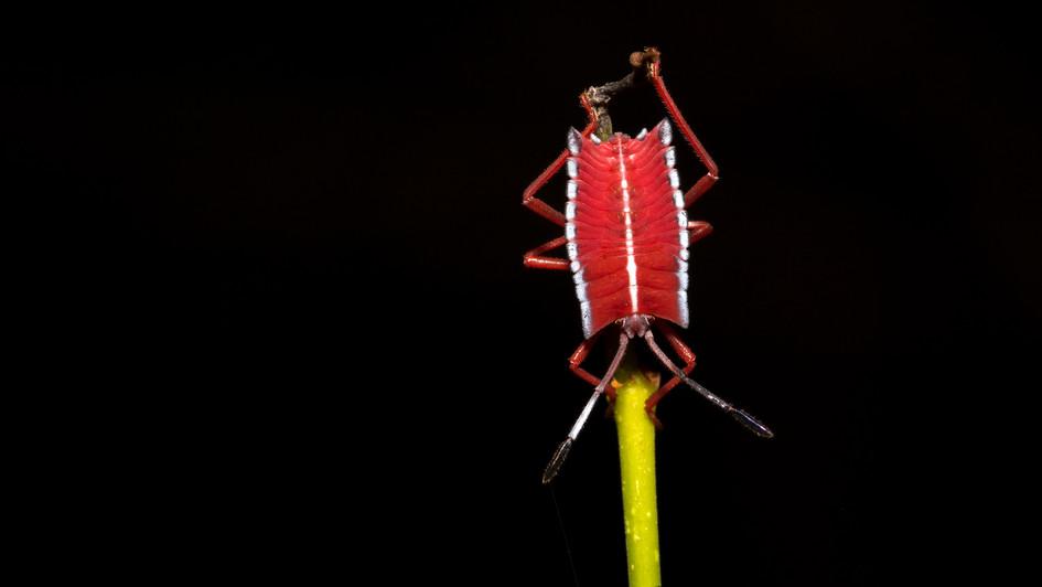 Beetle Nymph | Borneo