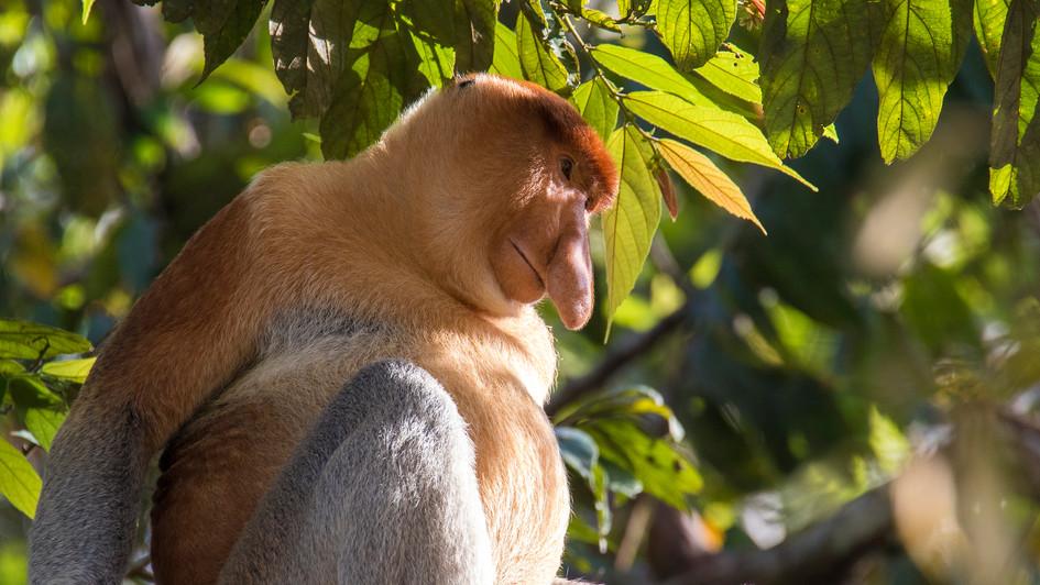 Proboscis Monkey | Borneo