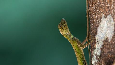 Draco   Borneo