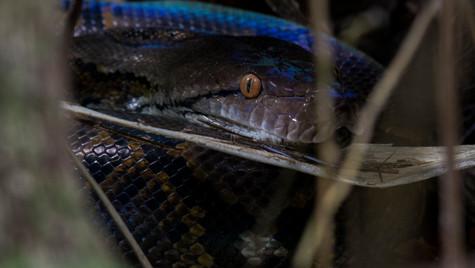 Reticulated Python   Borneo