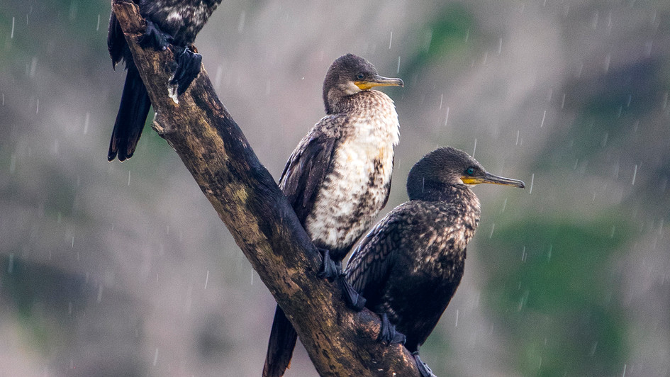 Indian Cormorant