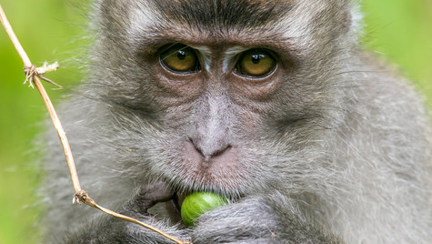 Long tailed Macaque   Borneo
