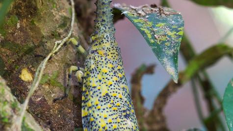 Lantern Bug   Borneo