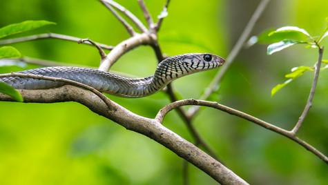 Indian Rat snake