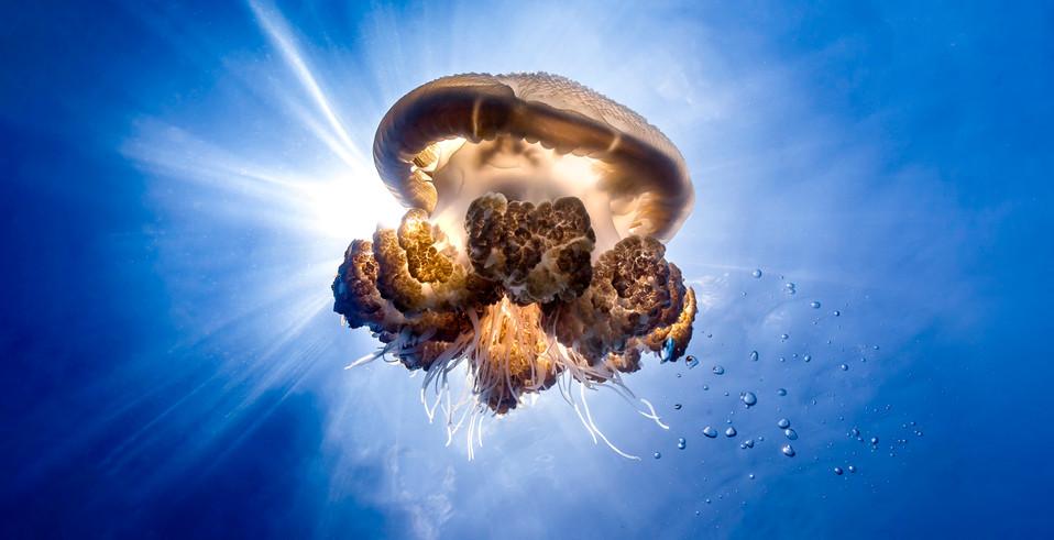 aaa jelly fish 16x9.jpg