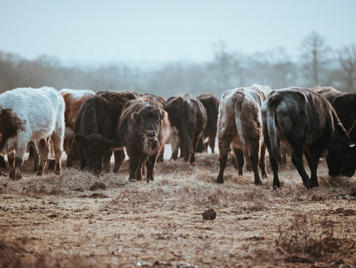 Livestock warms up our planet