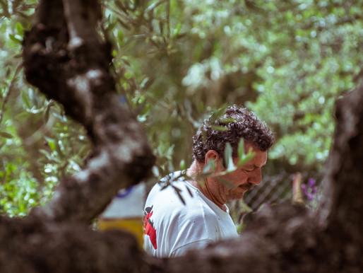 Greek olive oil producers confronting climate change