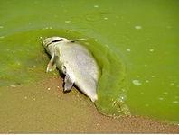 PASOP Dead Fish.jpg