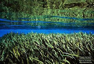 PASOP EEL GRASS.jpg