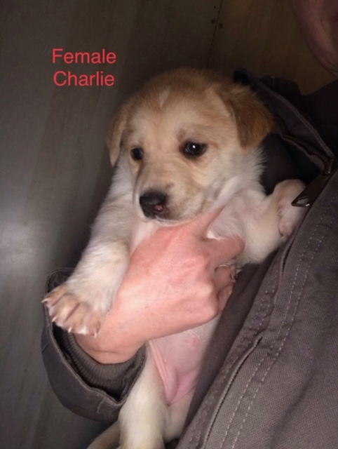 Charlie Puppy