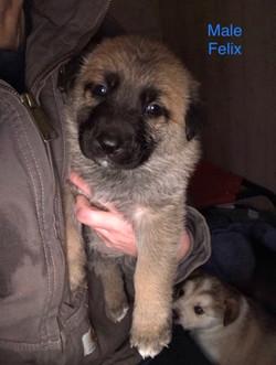 Felix Puppy