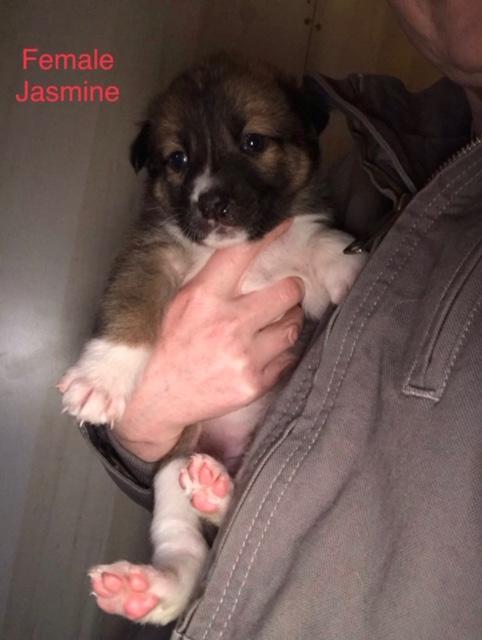 Jasmine Puppy