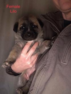 Lilo Puppy