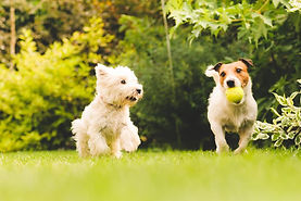 94-two dogs-playing-in-park.jpg