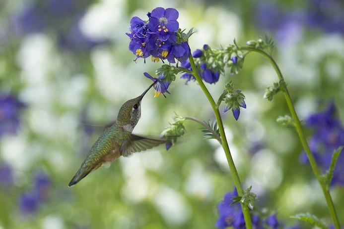 HUMMINGBIRD VANCOUVER