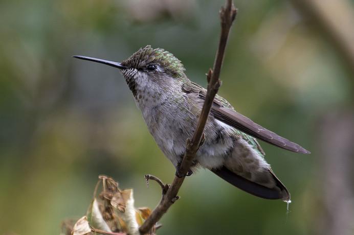 ANNA'S HUMMINGBIRD F.